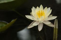 Flor branca do l?rio de ?gua amarela de Bali com fundo escuro imagem de stock royalty free