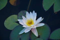 Flor branca do lírio de água do nymphea Foto de Stock