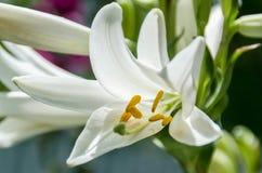 Flor branca do Lilium (membros de que são os lírios verdadeiros) Fotografia de Stock Royalty Free