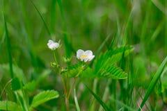 Flor branca do morango silvestre na grama foto de stock