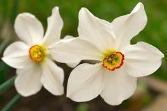 Flor branca do narciso amarelo com foto de stock