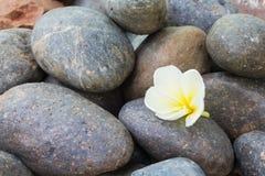 Flor branca do plumeria em pedras do seixo Fotos de Stock