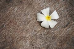 Flor branca do plumeria na madeira do grunge Imagens de Stock