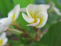 Flor branca do plumeria no jardim fotos de stock royalty free