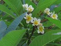 Flor branca do plumeria no jardim imagem de stock