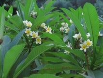 Flor branca do plumeria no jardim fotografia de stock