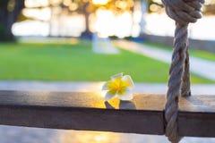 Flor branca do plumeria que coloca apenas no balanço rústico de madeira em fotografia de stock