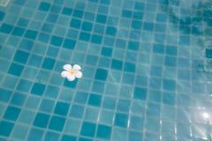 Flor branca do plumeria que flutua na associação imagem de stock