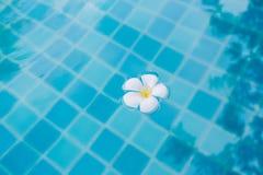 Flor branca do Plumeria que flutua na associação imagens de stock