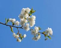 Flor branca do Prunus Fotos de Stock Royalty Free