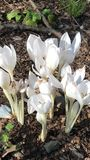 Flor branca do tulip foto de stock
