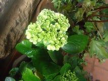 Flor branca do Viburnum Fotos de Stock