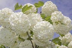 Flor branca do viburnum Buldenezh da bola de neve na flor Imagens de Stock Royalty Free