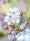 Flor branca doce da flor de cerejeira em Alishan Foto de Stock Royalty Free