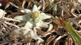 Flor branca dos edelvais Alpinum do Leontopodium fotos de stock royalty free