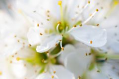 Flor branca e amarela Foto de Stock