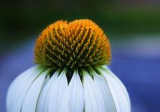 Flor branca e amarela fotos de stock royalty free