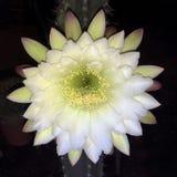 Flor branca e amarela do jamacaru do círio de florescência de noite fotos de stock royalty free