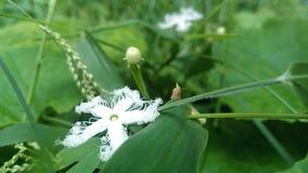 flor branca e botões doces Fotos de Stock Royalty Free