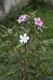 Flor branca e cor-de-rosa imagens de stock royalty free