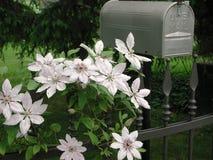 Flor branca e cor-de-rosa da planta da clematite imagens de stock royalty free