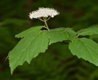 Flor branca e folhas verdes do viburnum com folhas do bordo Fotos de Stock