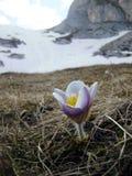Flor branca e roxa Fotos de Stock Royalty Free