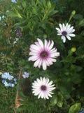 Flor branca e roxa Fotografia de Stock Royalty Free