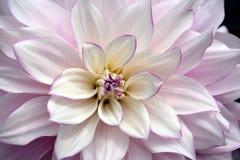 Flor branca e roxa da dália imagens de stock royalty free