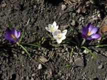 Flor branca e roxa da flor do açafrão da mola no jardim fotografia de stock