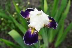 Flor branca e roxa no fundo da grama Fotografia de Stock Royalty Free