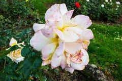 Flor branca e roxa velha fotografia de stock royalty free