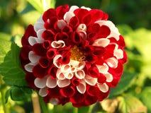 Flor branca e vermelha Imagem de Stock Royalty Free