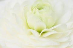 Flor branca elegante Fotos de Stock Royalty Free