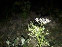 flor branca em Bangaldesh imagens de stock