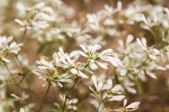 Flor branca em Phu Tok Imagem de Stock