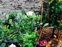 A flor branca está florescendo na luz do dia foto de stock