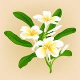 Flor branca Frangiapani do plumeria Imagens de Stock