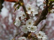 Flor branca fresca da maçã que cresce no ramo de uma árvore em um pomar com as folhas novas emergentes simbólicas da mola e do ch Fotografia de Stock