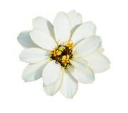 Flor branca isolada no branco Imagens de Stock