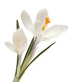 Flor branca isolada no fundo branco açafrão Imagem de Stock Royalty Free