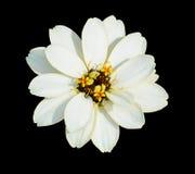Flor branca isolada no preto Fotografia de Stock