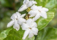 Flor branca, jasmim (sambac L do Jasminum ) Imagens de Stock