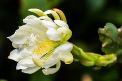 Flor branca lindo de um cacto de orquídea Fotos de Stock
