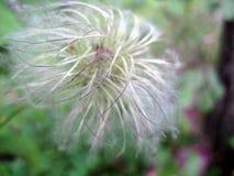 Flor branca macia Fotografia de Stock Royalty Free