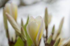 Flor branca macro em Tailândia, flor do thom do Lan, Frangipani, Champa Fotografia de Stock Royalty Free