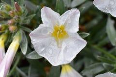 Flor branca molhada com pingos de chuva fotografia de stock