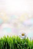 Flor branca na grama verde Foto de Stock Royalty Free