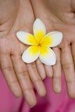 Flor branca nas mãos Fotos de Stock Royalty Free