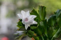 Flor branca, Natal e ação de graças do truncata do Schlumbergera Fotos de Stock Royalty Free